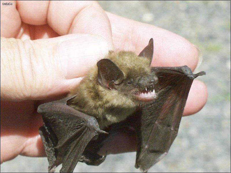 Little brown bat - photo#7